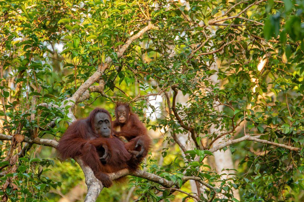 Orangotango foresta pluviale del Borneo, Kalimantan